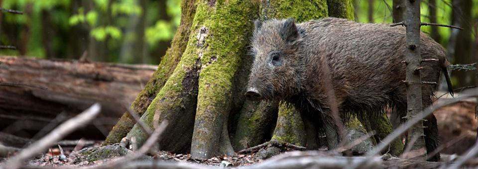 wildschwein-jagd-schloss-luetetsburg