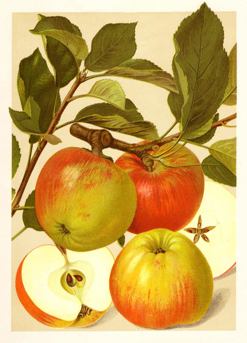 Bismarck Apfel