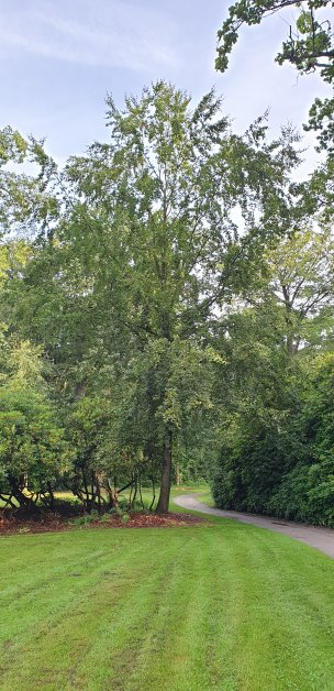 """Baum Nr. 177 """"Buche"""""""