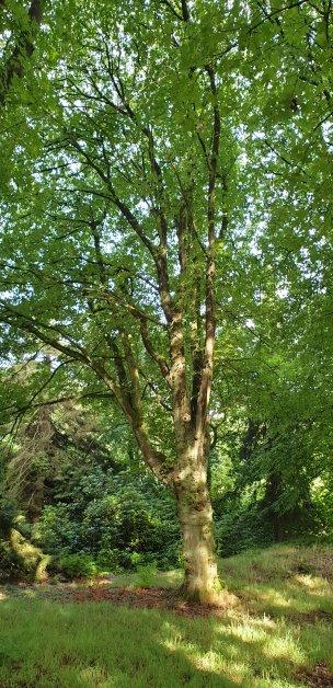 """Baum Nr. 183 """"Zuckerahorn"""""""