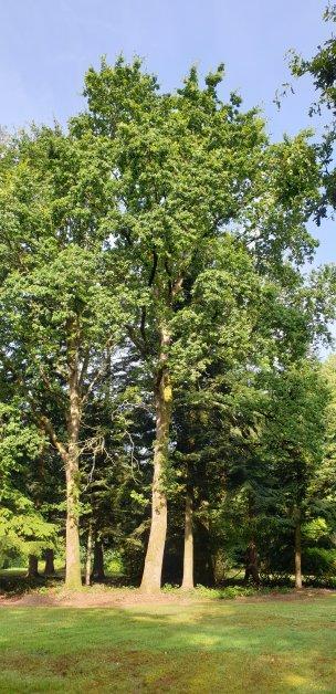 """Baum Nr. 185 """"Eiche"""""""