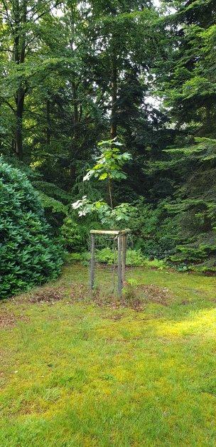 """Baum Nr. 186 """"Roteiche"""""""