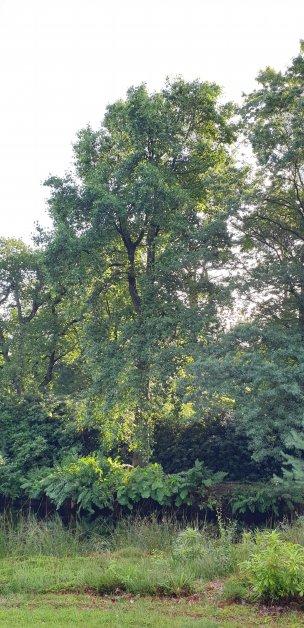 "Baum Nr. 187 ""Tulpenbaum"""