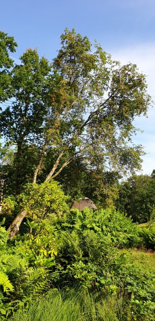"""Baum Nr. 188 """"Eberesche"""""""