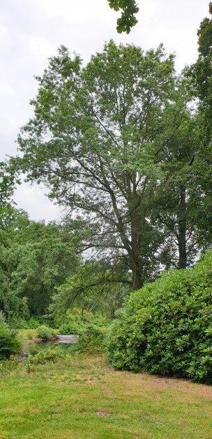 """Baum Nr. 189 """"Sumpfeiche"""""""