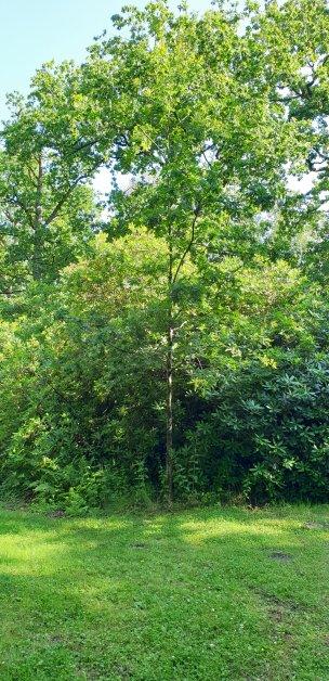 """Baum Nr. 191 """"Eiche"""""""