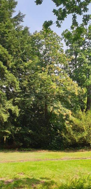 "Baum Nr. 195 ""Esskastanie"""