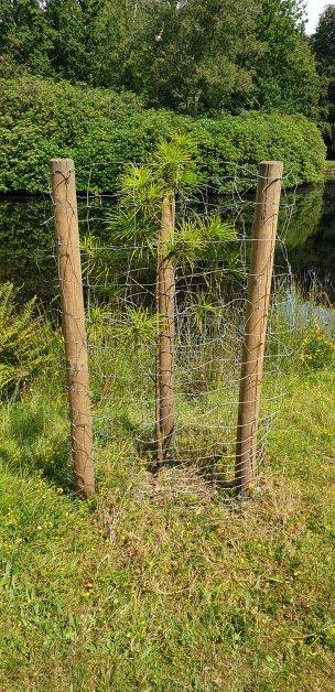"""Baum Nr. 197 """"Schirmtanne"""""""