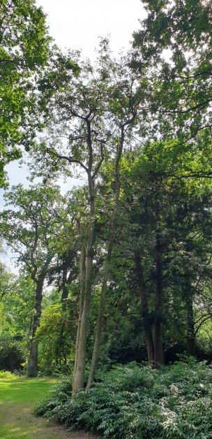 """Baum Nr. 199 """"Eberesche"""""""