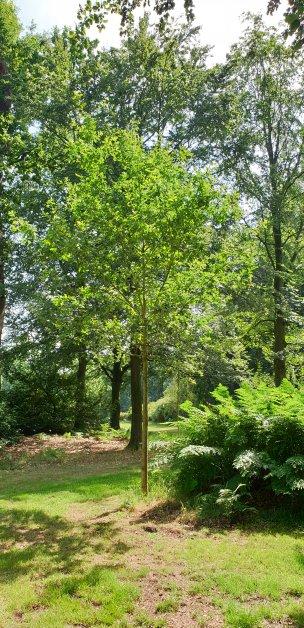 """Baum Nr. 200 """"Eiche"""""""