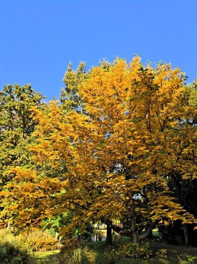 """Baum Nr. 99 """"Kaukasische Flügelnuss"""""""
