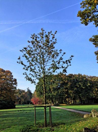 """Baum Nr. 35 """"Stieleiche (Gedenkeiche Eltern)"""""""