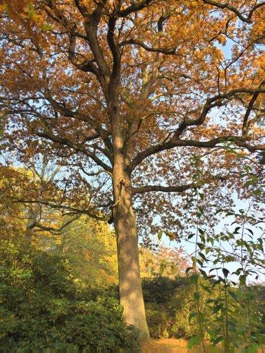"""Baum Nr. 86 """"Eiche"""""""