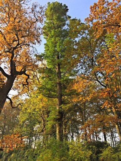 """Baum Nr. 85 """"Sumpfzypresse"""""""