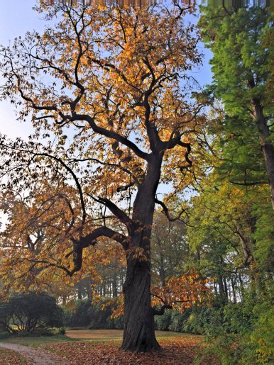 "Baum Nr. 84 ""Esskastanie"""
