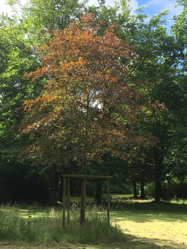 """Baum Nr. 43 """"Buche"""""""