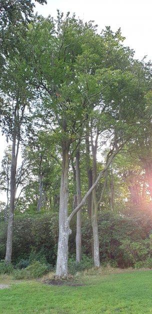 """Baum Nr. 202 """"Buche"""""""