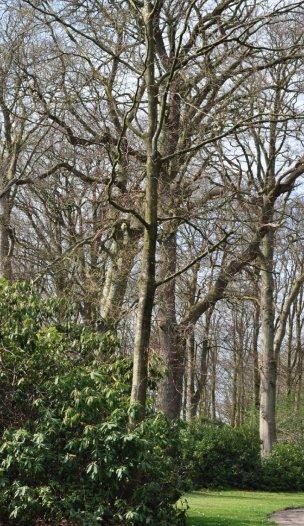 """Baum Nr. 5 """"Buche"""""""