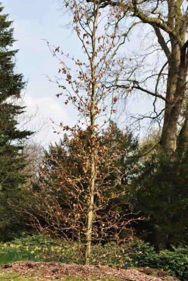 """Baum Nr. 6 """"Buche"""""""