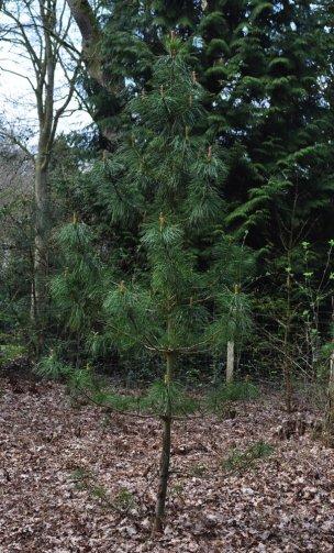 """Baum Nr. 9 """"Sibirische Zirbelkiefer"""""""
