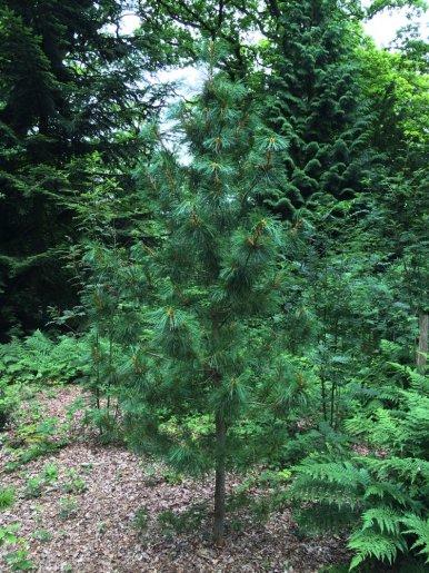 "Baum Nr. 9 a ""Sibirische Zirbelkiefer"""
