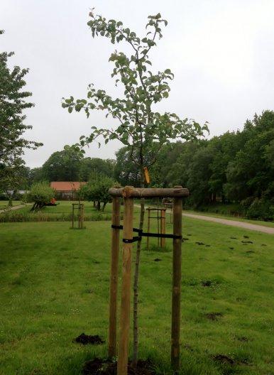 """Baum Nr. 101 """"Birne - Gräfin von Paris"""""""