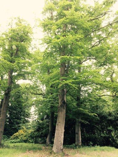 """Baum Nr. 109 """"Buche"""""""