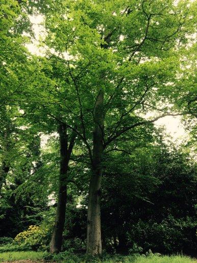 """Baum Nr. 110 """"Buche"""""""