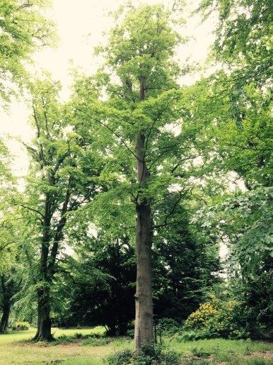 """Baum Nr. 112 """"Buche"""""""