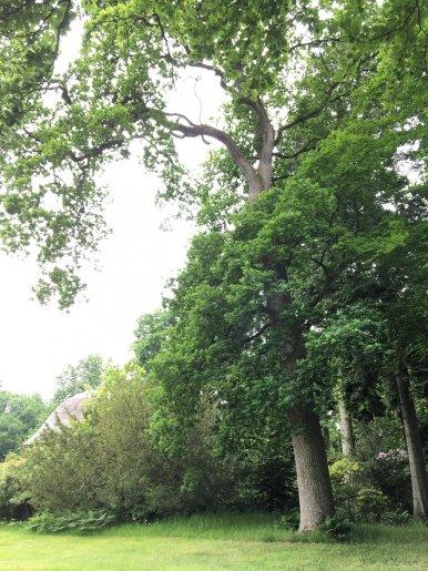 """Baum Nr. 115 """"Eiche"""""""