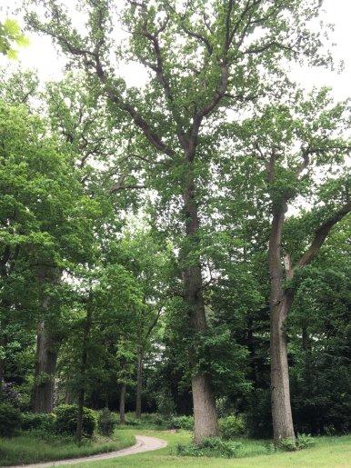 """Baum Nr. 116 """"Eiche"""""""