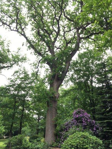 """Baum Nr. 118 """"Eiche"""""""