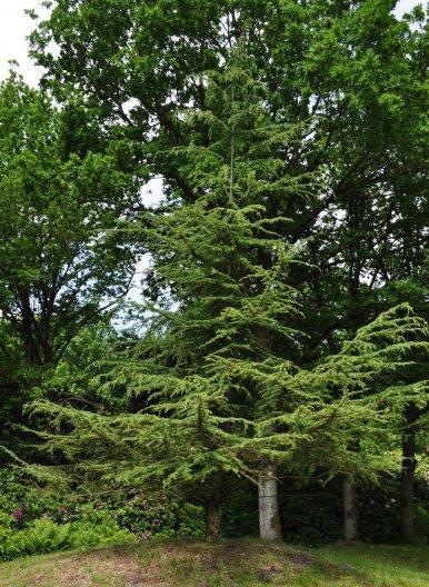 "Baum Nr. 12 ""Libanonzeder"""