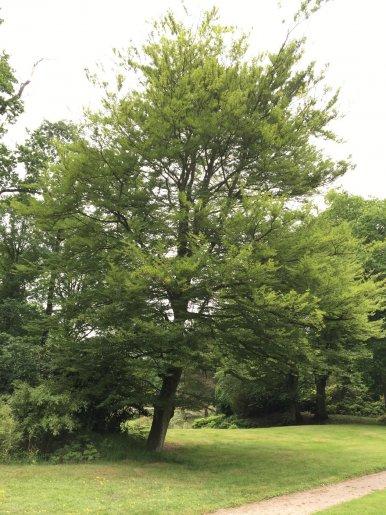 "Baum Nr. 120 ""Farnblättrige Buche"""