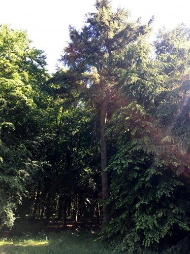 "Baum Nr. 122 ""Hemlocktanne"""