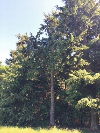 "Baum Nr. 123 ""Hemlocktanne"""