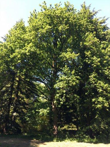 """Baum Nr. 125 """"Eiche"""""""