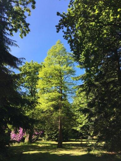"""Baum Nr. 126 """"Sumpfzypresse"""""""