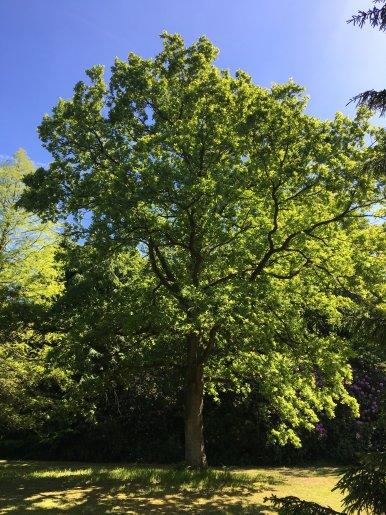 """Baum Nr. 127 """"Eiche"""""""