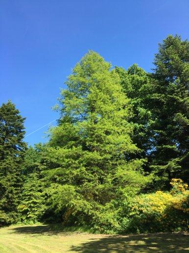 """Baum Nr. 128 """"Sumpfzypresse"""""""