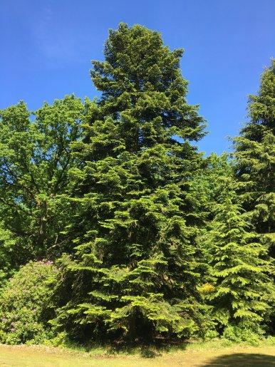"""Baum Nr. 129 """"Nordmanntanne"""""""