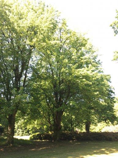 """Baum Nr. 131 """"Zuckerahorn"""""""