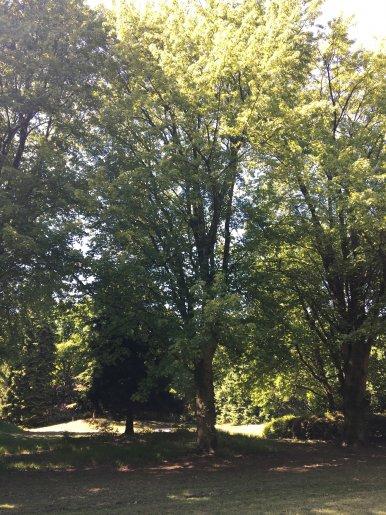 """Baum Nr. 132 """"Zuckerahorn"""""""