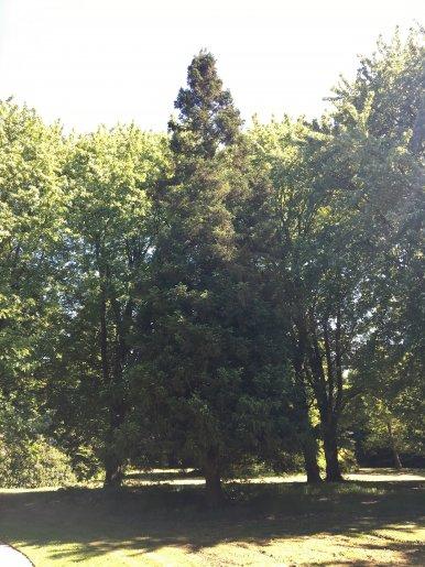 """Baum Nr. 133 """"Sicheltanne"""""""
