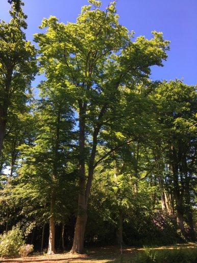 """Baum Nr. 135 """"Buche"""""""