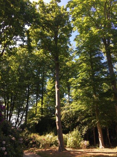 """Baum Nr. 136 """"Buche"""""""