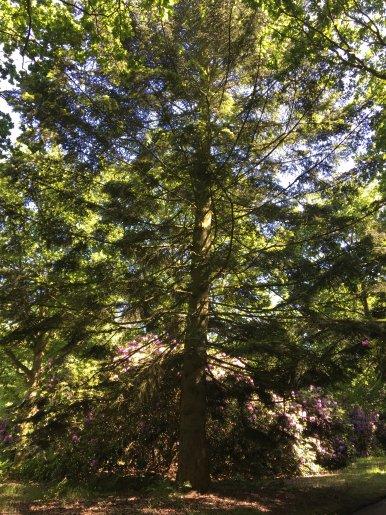 """Baum Nr. 139 """"Weißtanne"""""""