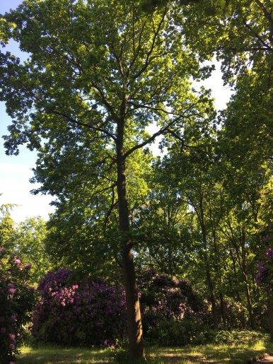 """Baum Nr. 140 """"Eiche"""""""