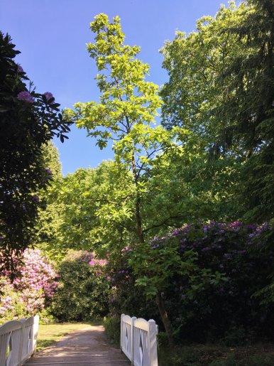 """Baum Nr. 147 """"Japanische Kaisereiche"""""""