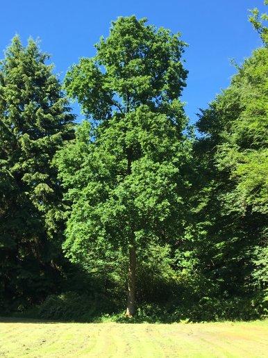 """Baum Nr. 148 """"Eiche"""""""